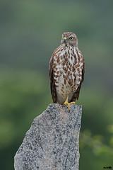 Shikra (harshithjv) Tags: bird birding shikra accipiter badius accipitriformes accipitridae aves avian canon 80d tamron bigron g2