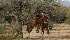 Salt River Wild Horses 1-20 (Salt River Arizona) Tags: wild horses arizona salt river horse animal animals life nature outdoors gallery photography foal baby family saltriverhorses