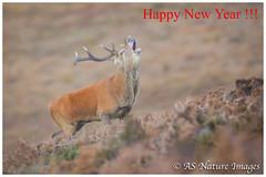 Exmoor Red Deer Stag (www.andystuthridgenatureimages.co.uk) Tags: deer red stag roar solving solve autumn rut rutting moor moorland exmoor nationalpark canon