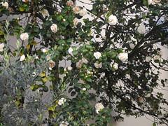 Hiver landais / Winter in den Landes / Зима в Ландах (Renata Janett) Tags: labouheyre frankreich kamelie blüten winter landes 40 camélia france fleurs hiver камелия франция цветение зима ланды