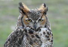 African eagle owl - Falconry Fair (Mandenno photography) Tags: animal animals african eagle eagleowl owl owls falconry fair falconryfair ngc nature nederland netherlands natgeo natgeographic tilburg bird birds birdofprey dieren bbcearth bbc discovery
