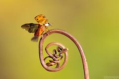 Tchau 2019, Oi 2020! (Vie Lipowski) Tags: ladybug ladybird ladybeetle tendril insect bug beetle garden happynewyear wildlife nature macro