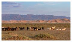 Désert de Gobi (Joce Vuillemot) Tags: mongolie mongolia asie asiecentrale désert désertdegobi dunes chèvres troupeau montagne canon canoneos7dmarkii canon18200mmefsf3556is nature