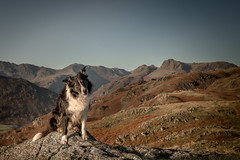 1/52 Interview with  'High on a Hill' Paddy! (JJFET) Tags: 1 52 weeks for dogs paddy border collie sheepdog dog great langdale
