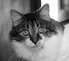 What I Like About You (Lisa Zins) Tags: cat feline petsandanimals pets animals lisazins elijah eyes monochrome blackandwhite face catface head dmh tn tennessee tabby portrait canon song songtitle theromantics whatilikeaboutyou upclose bw happycaturday retrospective 2020