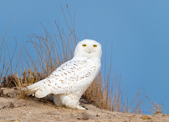 Snowy Owl (djrocks66) Tags: snowy owl snowyowl nature creatures raptor raptors owls outdoors wildlife animals birds talons white pretty winter dunes beach longisland ny iloveny nikon nikonusa d850 sigma 150600c landscapes sunrise eyes eye yellow wings feathers