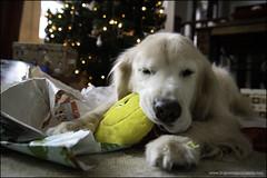 12-12 Bruno:  Christmas morning (Dave (www.thePhotonWhisperer.com)) Tags: dog christmas goldenretriever present 12monthsfordogs 12monthsforbruno