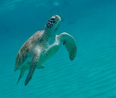 Green Sea Turtle in Curaçao (Craigs Travels) Tags: green turtle curaçao island wildlife gopro snorkeling caribbean