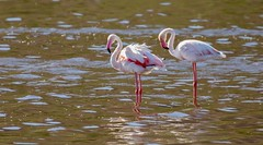 Greater Flamingos (haroldmoses) Tags: onrusriver westerncape southafrica 2y3a6027 flickrbirds vermontsaltpan hermanus