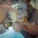 Monkey World's orang-utan nursery