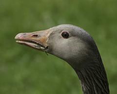 Goose (saxman1597) Tags: goose bird washingtonwildlifepark waterbird nikond3300 nature wildlife tamron70300