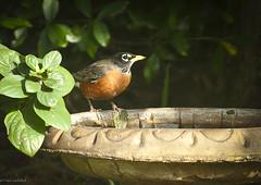 Robin At The Bath (paulgarf53) Tags: robin redbreast bird nature birdbath bath florida nikon d700