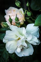 Le coeur seul est poète (Solène.C-B) Tags: andréchénier solènecb coeur heart poète poet fleurs flowers beauté beauty