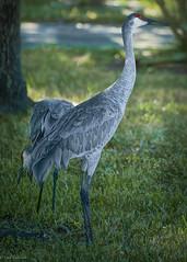 The Neighbors (paulgarf53) Tags: birds cranes sandhill sandhillcranes nature home florida nikon d700 topaz topazstudio2 feathers