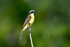 Social Flycatcher (Connor Cochrane) Tags: social flycatcher bird birds birding birdwatching mexico quintana yucatan muyill tulum d5600 photo