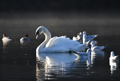 Beauty and the uglies (Jason Prince Photography) Tags: nikon d7200 deans eliburn reservoir west lothian jason prince photography 31 december 2019 mute swan british wildlife waterfowl scotland sigma telephoto 150mm 600mm monopod goosanders mergus merganser cygnus olor naturephotography
