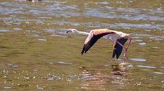 Greater Flamingo (haroldmoses) Tags: onrusriver westerncape southafrica 2y3a6030 flickrbirds vermontsaltpan hermanus
