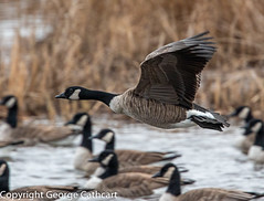 time has come for me to go (fins'n'feathers) Tags: flight inflight flying takingoff goose canadagoose canadageese wings bird birds wildlife animals avian water blackwaternationalwildliferefuge maryland chesapeakebay