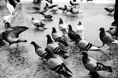 Marching out of frame (masjuan) Tags: horizontal street city nature animal blackandwhite fineart spain barcelona bird pigeon