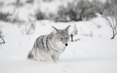 The Predator (agnish.dey) Tags: yellowstone nature naturallight naturephotograph nikon naturethroughthelens nationalpark valley snow winter yellowstonenationalpark predator coyote mammal wyoming mountins wildlife wilderness montana