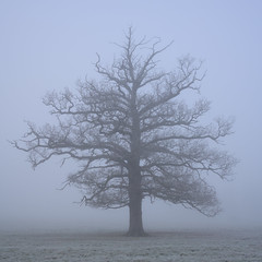 Old Oak Tree in the Fog 2 (d1939m) Tags: freezing cleanair inclement peaceful mist bark icy haze colourwash jackfrost uk white frozenstiff color winter coldfront frostbitten weather rimefrost cold quercus country scenery rimeice coldsnap frozen nature freshair adverseweather land trees seasonal colorwash britain icehoarfrost alone outdoors farm europe places tranquil iceover hazy crystals landscape ice rime misty unitedkingdom outdoor rural hoarfrost frost colour environment countryside frostcold common terrain beautiful british freeze englishweather allimages english park fresh conditions england cool