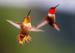 May Your New Year Sparkle! (Patricia Ware) Tags: allenshummingbird birdsinflight california canon ef400mmf4doisiiusmlens handheld kennethhahnrecreationalarea losangeles selasphorussasin ©2019patriciawareallrightsreserved specanimal