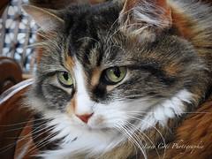 "Minette our family's cat. (luce.ct) Tags: ""coolpixp900"" p900 ""nikoncoolpixp900"" nikon cat chat animal"