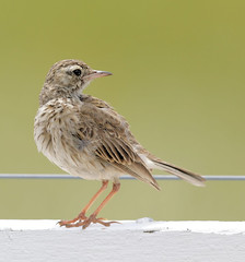 Australasian Pipit 1 (cosmos38 - the real one) Tags: birds pipits australasianpipit anthusnovaeseelandiae westernaustralia australia australind