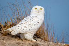 Snowy Owl (djrocks66) Tags: snowy owl nature outdoors raptors nikon wildlife talons feathers white snowyowl d850 nikonusa animals eyes longisland ny iloveny dunes beach pretty