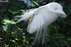 Light as a feather (Shannon Rose O'Shea) Tags: shannonroseoshea shannonosheawildlifephotography shannonoshea shannon greategret egret bird beak feathers wings lores breedingplumage plumes leaves alligatorbreedingmarshandwadingbirdrookery gatorland orlando florida gatorlandbirdrookery rookery nature wildlife waterfowl flickr smugmug wwwflickrcomphotosshannonroseoshea outdoors outdoor outside colorful colourful colors colours art photo photography photograph camera wild wildlifephotography wildlifephotographer wildlifephotograph femalephotographer girlphotographer womanphotographer shootlikeagirl shootwithacamera throughherlens canon canoneos80d canon80d canon100400mm14556lisiiusm eos80d eos 80d 80dbird canon80d100400mmusmii 2019 6696 closeup close white birdphotographer naturephotographer justagirlwithacamera canongirl preening