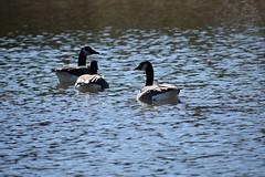 Canadian Geese (goldiamondcorp) Tags: goose geese water pond duck ducks waterfowl animal animals nature wild bird birds cc0 photo photos photograph photographs photography natural life canadian