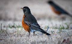 robin in the grass (Pejasar) Tags: robin bird neighborhood test newlens tulsa oklahoma feathers
