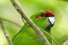 Kākāriki (gecko47) Tags: animal bird parakeet cyanoramphus maorismallparrot zealandia wellington naturereserve portrait cyanoramphusnovaezelandiae kākāriki redcrownedkākāriki
