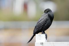 Little black cormorant 2 (cosmos38 - the real one) Tags: birds cormorants littleblackcormorant phalacrocoraxsulcirostris westernaustralia australia australind