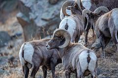 Rocky mountain bighorn rams (bandhunter88) Tags: rockymountainbighornsheep ram coloradowildlife canon5dmkiii bighornsheep bighorn wildlife herd colorado