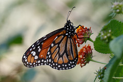 Monarca del Sur (Danaus erippus) (Ce Rey) Tags: macro butterfly butterflies mariposa mariposas nature naturaleza monarca monarcadelsur texture textura insect insects insecto insectos monarch southernmonarch danauserippus nymphalidae