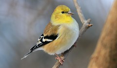 American goldfinch at Lake Meyer Park IA 653A5704 (naturalist@winneshiekwild.com) Tags: american goldfinch lake meyer park winneshiek county iowa larry reis