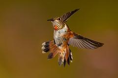 Rufous Hummingbird (Eric Gofreed) Tags: arizona hummingbird mybackyard rufoushummingbird sedona multiflashphotography