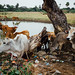 Cattle Emerging From Pond, Meikitla Myanmar