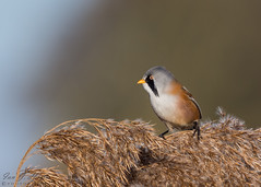 Bearded Tit ( reedling ) ( Explored ) (ian._harris) Tags: nikon d7200 sigma500mmf45 england telephoto 2019 autumn britain great gb uk united outside outdoor day camera photo photography photograph photographer picture capture image snap shot flickr visit visitor wildlife wild nature natur naturephotography beardedreedling explore explored