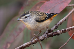Spotted Pardalote (RoosterMan64) Tags: australia australiannativebird bird nsw nature spottedpardalote wildlife