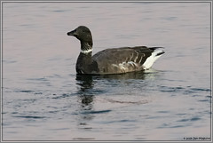 Brant 4839 (maguire33@verizon.net) Tags: bolsachica bolsachicaecologicalreserve brant brantabernicla bird goose wetlands wildlife huntingtonbeach california unitedstatesofamerica