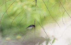 20190615-1DX28111 (siddharthx) Tags: 1dxmkii 2019 aseanheritagepark atiwichball badlight bankrangcamp beautifulbirds bird birdwatching birding birdinginthewild birds birdsinthewild canon canon1dxmkii canon7dmkii closerange columbia ef100400mmf4556lisiiusm ef1635f4lis hidephotography hides huaimaepriang june2019 kaengkrachan kaengkrachandistrict kaengkrachannationalpark kesslercrane lowlight mountains myanmarthailandborder nationalpark padungcamp phetchaburi phetchabuririver pranbuririver promediagearkatanajr promediageartr424lpmgprostix sachtler sunrise sunset tamron150600mmf563divcusdg2 thailand tropicalrainforest wild wildbirds wildlife wimberleylensplates animalfanatics naturephotography quechua wildlifecaptures wildlifeinspired wildlifeperfection wildlifecentral wildlifephotography wildlifeseekers scarletbackedflowerpecker flowerpecker