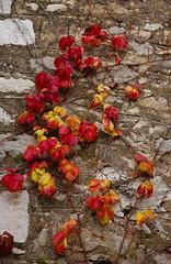 Stone Wall of COLOUR !!! (GEORGE TSIMTSIMIS) Tags: stonewall leaves colour fall autumn climbingplant pentaxsmc pentaxk1 fullframe building explore outdoorphotography greece pentaxhddfa2470mmf28edsdmwr