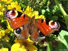 Butterfly 1916 (Aglais io) (+1800000 views!) Tags: butterfly borboleta farfalla mariposa papillon schmetterling فراشة