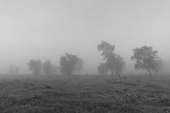 Mist in the forest (Capturedbyhunter) Tags: fernando caçador marques fajarda coruche ribatejo santarém portugal panasonic fz300 landscape paisagem mist fog nevoeiro wood forest floresta montado monocromático monochrome preto e branco black white