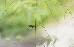20190615-1DX28121 (siddharthx) Tags: 1dxmkii 2019 aseanheritagepark atiwichball badlight bankrangcamp beautifulbirds bird birdwatching birding birdinginthewild birds birdsinthewild canon canon1dxmkii canon7dmkii closerange columbia ef100400mmf4556lisiiusm ef1635f4lis hidephotography hides huaimaepriang june2019 kaengkrachan kaengkrachandistrict kaengkrachannationalpark kesslercrane lowlight mountains myanmarthailandborder nationalpark padungcamp phetchaburi phetchabuririver pranbuririver promediagearkatanajr promediageartr424lpmgprostix sachtler sunrise sunset tamron150600mmf563divcusdg2 thailand tropicalrainforest wild wildbirds wildlife wimberleylensplates animalfanatics naturephotography quechua wildlifecaptures wildlifeinspired wildlifeperfection wildlifecentral wildlifephotography wildlifeseekers scarletbackedflowerpecker flowerpecker