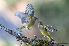 Kissing (Jacques GUILLE) Tags: verdierdeurope domainedesoiseaux combat oiseau 09 ariège carduelischloris europeangreenfinch fringillidés mazères passériformes bird