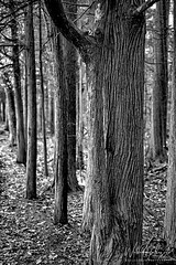 Tree Stand (BW)  2019:115/365 (uselessbay) Tags: blackandwhite trees massachusetts borderlandstatepark nature floraandfauna uselessbayphotography williamtalley nikond700 digital 2019