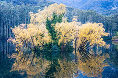 Lake Guy Bogong Village (laurie.g.w) Tags: lake bogong autumn high country victoria lakebogong colour color yellow fall water trees leaves reflections australia tamron2875mm landscape nikon d700 beauty serene national nationalpark nature